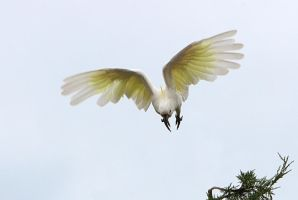 Sulphur Crested Cookatoo 78 by chezem