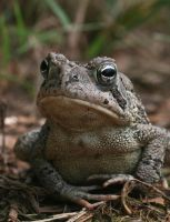 Fowler's Toad XT0017448 by Cristian-M