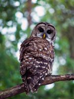 Barred Owl by ivinesj