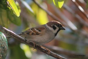 Sparrow / Spatz  7 by bluesgrass