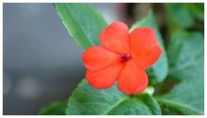 Little Pretty Red Flower by lynxdesign