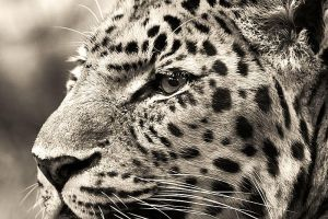 Leopard I by Schoelli