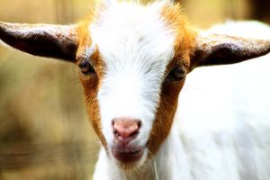 Baby Goat 1 by S-H-Photography
