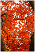 Patterns in the Japanese Maple by Pyratn