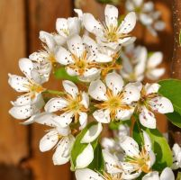 April Pear Blossom 2 by Forestina-Fotos