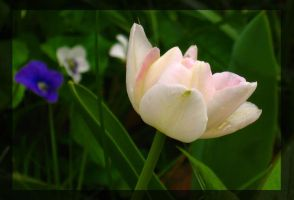 Small White Tulip by Tranquil-Insanity
