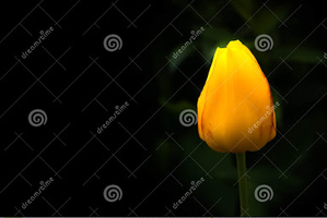 Yellow tulip by zonnyjhon