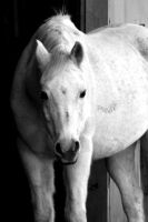 white horse 5 by TlCphotography730