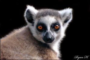 Ring Tailed Lemur 5 by Mkatpro11