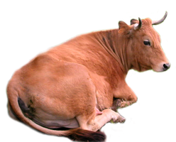 Cow png stock by lubman