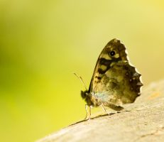Speckled wood by Parides