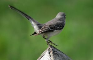 Northern Mockingbird 04 by Thy-Darkest-Hour