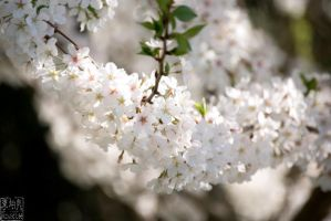 Blossom Branch by rclee21