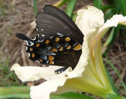 Deep ....Spicebush Swallowtail by duggiehoo
