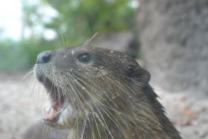 Otter - 2 by Silver-Stock-Images