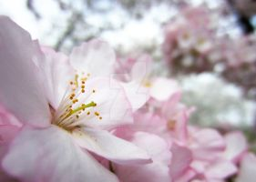 Cherry Blossoms 9 by zaphotonista