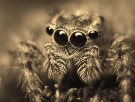 Jumping spider by momentoes