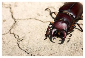 Stag Beetle by ewm