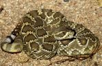 Crotalus scutulatus by michael-ray