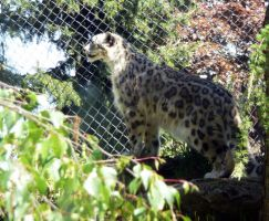 Snow Leopard: Look Out by Track-Maidens