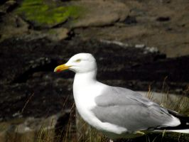 Gull by D1scipl31974