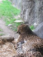 Napping Cheetah by insanities-sanity