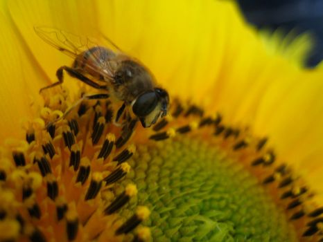 Bee on sunflower #3 by redrockstock
