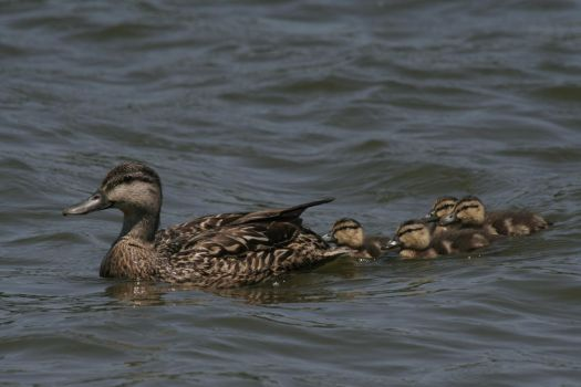 Mommy and baby ducks - 2 by Seductive-Stock
