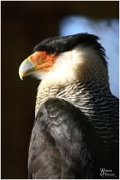 CaraCara in the Sun by W0LLE