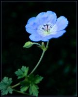 BLUE POPPY by THOM-B-FOTO