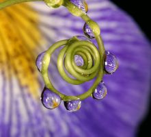 Iris droplets swirl by twilightesque