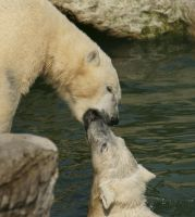 Polar bear kiss by miezbiez