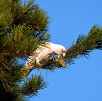 Long Billed Corella by FireflyPhotosAust