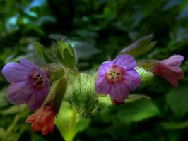 Lungwort by Lupsiberg