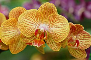 Yellow orchid by a6-k