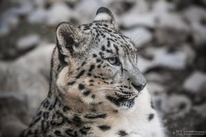 Snowleopard, KA I by FGW-Photography