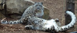 Snow Leopard Stock 25: Mother and Cub by HOTNStock