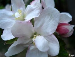 Apple tree flowes by Layit