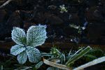 Frosted Bramble Leaf... by TheBaldingOne