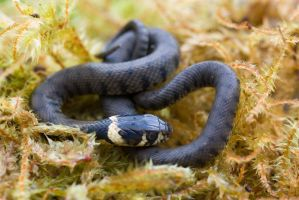 Juvenille Grass snake by AngiWallace