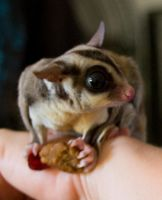 Sugar Glider 1 by hotwiar