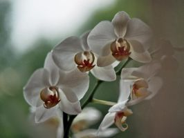 Orchid 2 by KB-Fotografie
