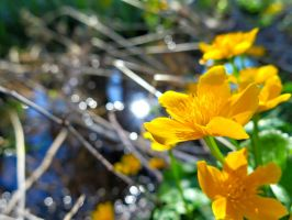 Caltha palustris by VBmonkey26