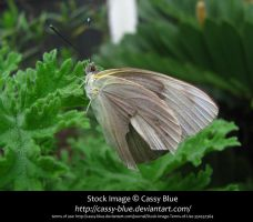 Great Southern White Stock 2 by Cassy-Blue