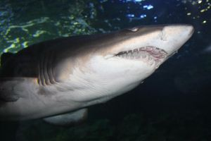 Sand tiger by serdarsuer