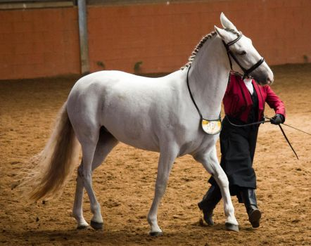 STOCK - 2014 Andalusian Nationals-28 by fillyrox