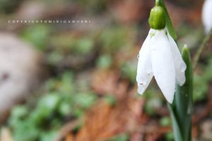 Galanthus by omirigahoshi