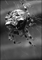 Spider by lidarman