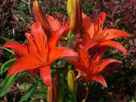 Red Asiatic Lily 3 by racheltorres921