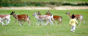 Chasing Deers by Sumidha